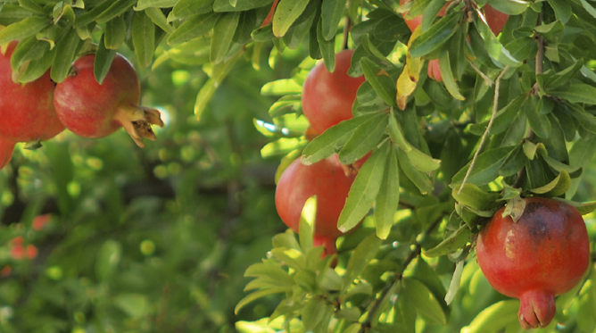 Pomegranates on the tree.